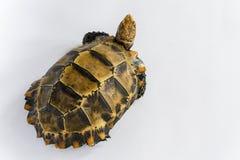 """Le tartarughe interne in Asia sono chiamate ' Tartaruga impressionata, impressa """" di Manouria; isolato su fondo bianco fotografie stock libere da diritti"""