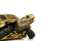 """Le tartarughe interne in Asia sono chiamate ' Tartaruga impressionata, impressa """" di Manouria; isolato su fondo bianco fotografie stock"""