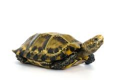 """Le tartarughe interne in Asia sono chiamate ' Tartaruga impressionata, impressa """" di Manouria; isolato su fondo bianco fotografia stock libera da diritti"""
