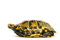"""Le tartarughe interne in Asia sono chiamate ' Tartaruga impressionata, impressa """" di Manouria; isolato su fondo bianco immagini stock libere da diritti"""