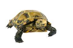 """Le tartarughe interne in Asia sono chiamate ' Tartaruga impressionata, impressa """" di Manouria; isolato su fondo bianco immagine stock libera da diritti"""