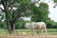 Le taureau Images libres de droits