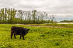 Le taureau de couleur brune foncé fort de Galloway regarde curieusement image libre de droits