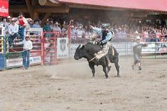 Le taureau s'opposant essaye de jeter outre du cowboy à la concurrence d'équitation de taureau images libres de droits