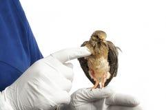 Le technicien vétérinaire examine la colombe Photographie stock libre de droits