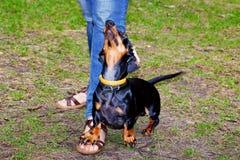 Le teckel de chien exécute le centre serveur Images stock