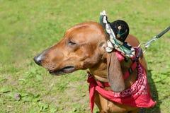 Le teckel est un chien de chasse Images stock