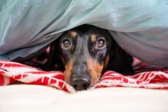 Le teckel mignon, noir et bronzage, est caché sur un lit sous une couverture photos stock