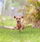 Le teckel sautant par-dessus l'herbe Photographie stock