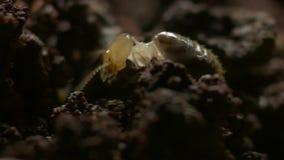 Le termiti della bussola ripartono le sostanze nutrienti morte dell'estratto e dell'erba L'Australia del Nord immagini stock