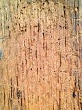 Le termiti mangiano il legno Fotografia Stock Libera da Diritti