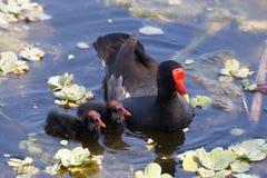 Le terrain communal amarrent les poussins de alimentation de poule chez Cay Wetland Florida verte Images stock
