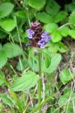 Le terrain communal Auto-guérissent ou Guérir-tout (le Prunella vulgaris) Image stock