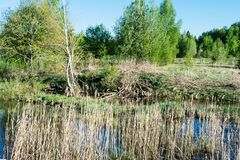 Le terrain marécageux avec la haute herbe sèche, bouleaux incurvés, jeunes arbres verts, temps de coucher du soleil de ressort Photographie stock libre de droits