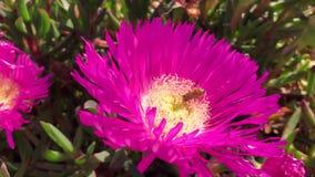 Le terre dell'ape sul fiore rosa coperto in polline chiudono la macro archivi video