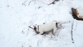 Le terrier de Jack Russell creuse un trou Fouilles de chien Beau crabot animal familier drôle banque de vidéos