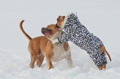 Le terrier de Staffordshire américain poursuit jouer le jeu d'amour dans la victoire Images libres de droits