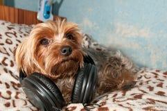 Le terrier de Yorkshire écoutent la musique Photographie stock