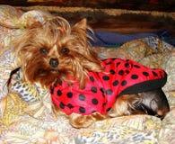 Le terrier de Yorkshire de femelle de jeune fille dans le noir rouge tachette dans la couverture (Ladybird) et se repose sur jaun Photographie stock