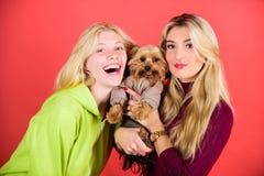Le terrier de Yorkshire est le chien affectueux très affectueux qui sollicite l'attention Crabot d'animal familier mignon Amours  image libre de droits