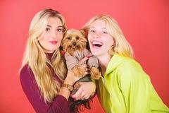 Le terrier de Yorkshire est le chien affectueux tr?s affectueux qui sollicite l'attention Crabot d'animal familier mignon Amours  photos libres de droits
