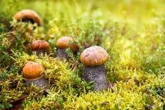 Le testarosse di Podosinovik si sviluppano nella foresta Fotografia Stock Libera da Diritti