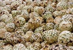 Le teste dell'agave hanno tagliato di recente Immagini Stock