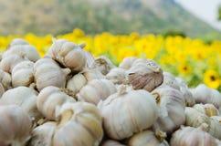 Le teste dell'aglio fotografia stock