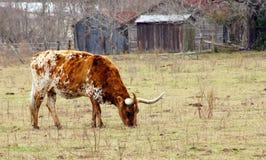 Le Texas Longhorn Photo libre de droits
