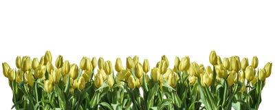 Le textspace blanc d'isolement de salutation de l'espace de fond de tulipe jaune peut oriental heureux de ressort de fleurs Image stock