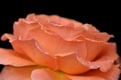 Le thé d'abricot s'est levé dans les gouttes de l'eau images stock