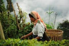 Le thé de sélection de femme pousse des feuilles, Darjeeling, Inde Photographie stock libre de droits