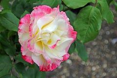 Le thé hybride de plaisir de double de Rosa s'est levé images stock
