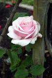 Le thé hybride rose s'est levé dans le jardin images libres de droits
