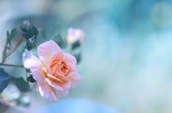 Le thé s'est levé sur le fond bleu-clair dans le jardin avec l'espace pour le texte Image d'art parfaite pour des cartes de vacan Images stock