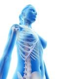 Le thorax squelettique Image libre de droits