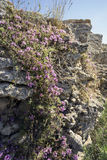 Le thym criméen sur la montagne rocheuse Images stock