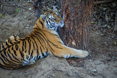 Le tigre étreint un arbre Image libre de droits