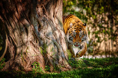 Le tigre Photographie stock