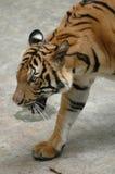 Le tigre Photos libres de droits