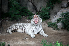 Le tigre blanc Image stock