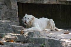 Le tigre blanc mange Photos libres de droits
