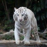Le tigre blanc reste sur la roche Photos libres de droits