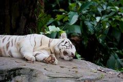 Le tigre blanc se trouve sur la roche Photographie stock libre de droits