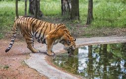 Le tigre boit dans les bois Photographie stock