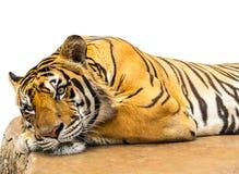 Le tigre détendent Images stock