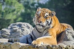 Le tigre d'Amur ou d'Ussuri, ou le Lat d'Extrême-Orient de tigre L'altaica du Tigre de Panthera est une sous-espèce du tigre images libres de droits