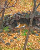 Le tigre d'Amur s'est caché sous un auvent de pluie beau grand chat dans les bois Photo libre de droits