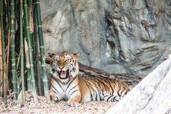 le tigre d'hurlement Photographie stock libre de droits