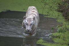 Le tigre de Bengale blanc patauge par l'eau de marais Photo stock